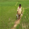 Rice agriculture in India credit Lee Tucker creative commons license